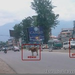 Street patrolling cows in Kathmandu Metropolitan City