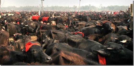 buffaloes in Gadhimai mela
