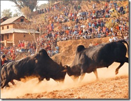 nuwakot-taruka-bull-fight