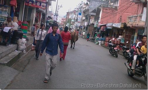 3 giant cows were walking on the street of saraswati nagar,Kapan