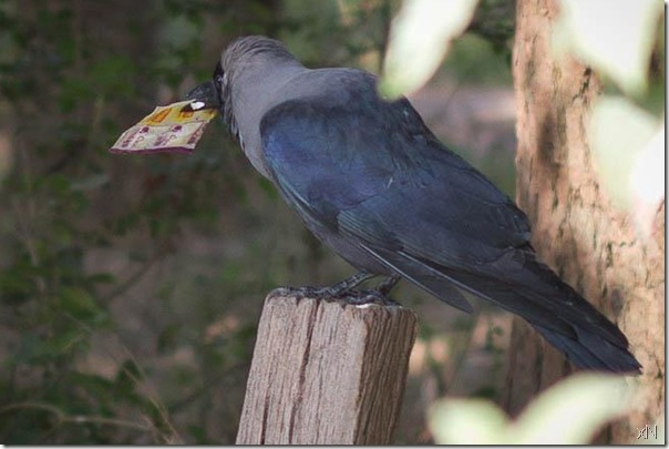 crow_carries_Noodles_packet