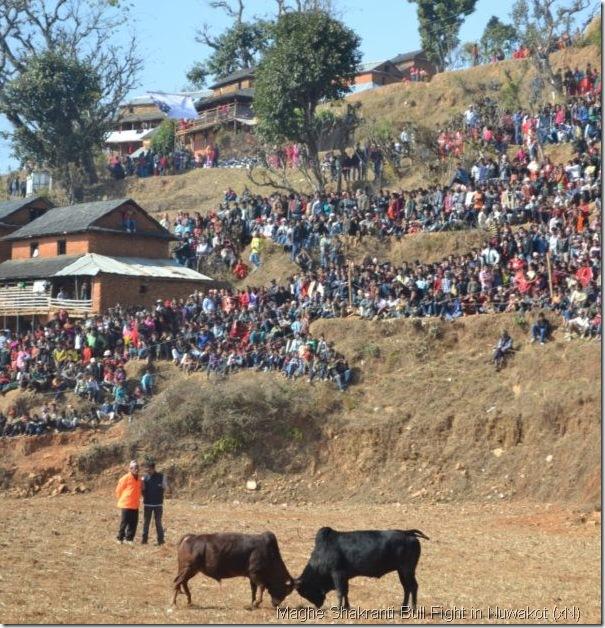 Bull_fight_in_Nuwakot.Taruka-3
