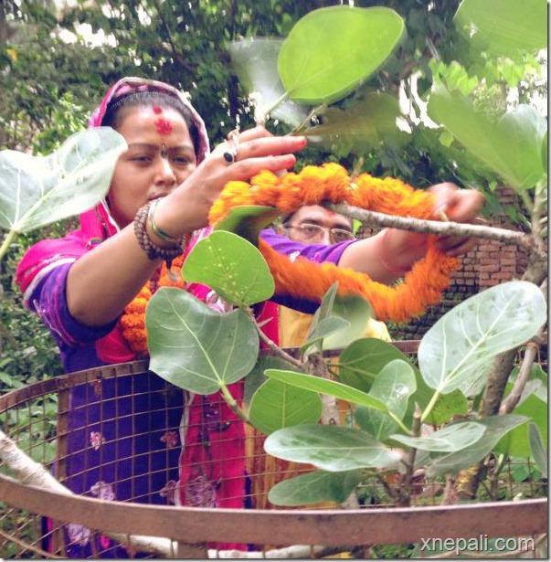 rekha thpaa puja yagya and marriage to tree (5)